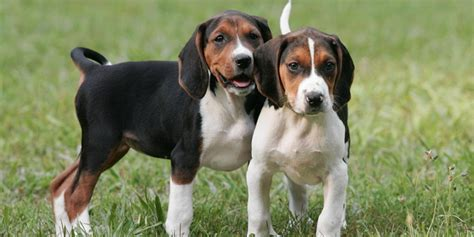 coonhound puppies treeing walker coonhound information characteristics facts names