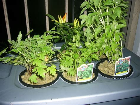 hydroponics  home   beginners