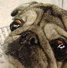 pug eye scratch is blind rspca