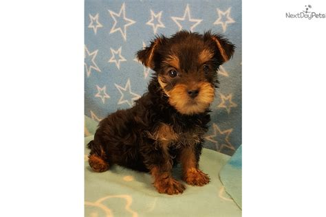 teacup yorkies for sale in cincinnati ohio terrier yorkie puppy for sale near cincinnati ohio 1ed80a7a a5d1