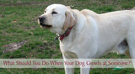puppy growling at me aggressive dogs brisbane what to do when your puppy growls and bites you