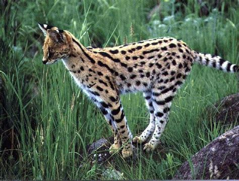 south african cheetah simple english wikipedia the free image gallery serval animal