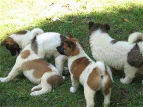 akita puppies for sale in florida akita puppies for sale