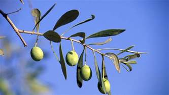 what does olive tree symbolize reference com