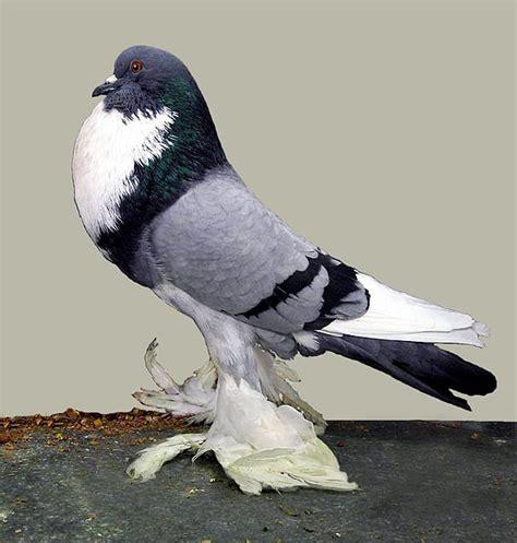 pomeranian pouter pomeranian pouter cropper pommerscher kr 246 pfer pigeons fall