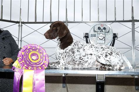 westminster show 2016 winner westminster show 2016 cj the german shorthaired pointer wins best in show