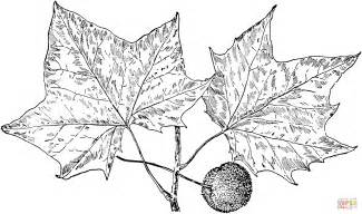 sycamore leaf coloring page sycamore tree leaves coloring online super coloring