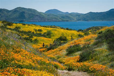 california desert flowers california s desert wildflowers burst into bright super