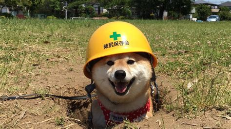 Shiba Inu Also Search For One Shiba Inu Wore A Safety Helmet To Prepare For Its Photoshop Battle
