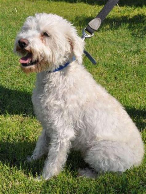 poodle mix puppies rescue schnauzer poodle mix schnoodle photograph quot bongo quot for adoption in scot