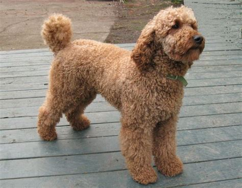 mini doodle calgary doodle goldendoodle and labradoodle mix my