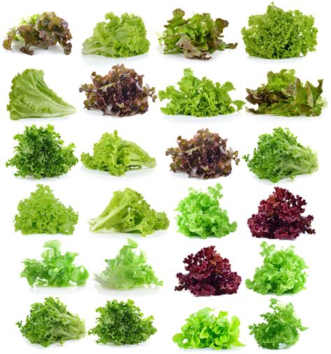 types of lettuce leaf lettuce types 187 a wealth of tasty choices