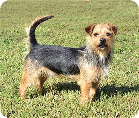 australian yorkie gage adopted allentown pa australian terrier