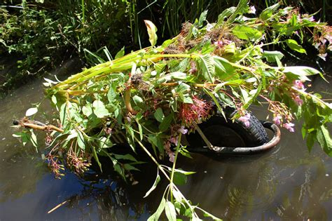 wandle touch himalayan balsam the wandle trust