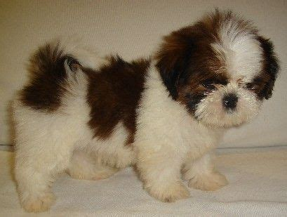 shih tzu lhasa apso mix puppies pin by mich fischer on my shi tzu other puppies