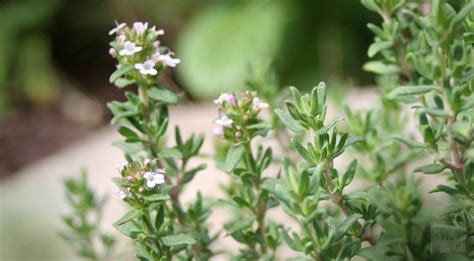 Garden Thyme by Doing Our Part To Save The Bees With 5 Simple Herbs