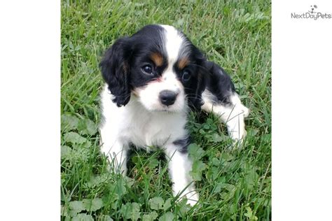 king charles cavalier puppies for sale near me cavalier king charles spaniel for sale for 650 near tuscarawas co ohio 01766237 4ff1