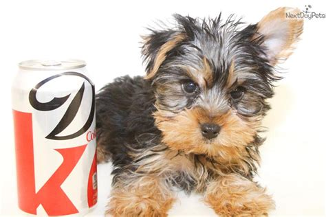 teacup yorkies for sale in cincinnati ohio teacup yorkie puppies columbus ohio breeds picture