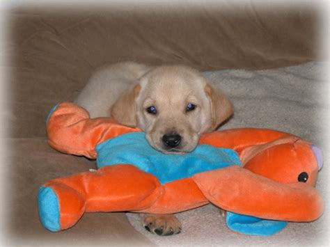 puppies for sale in northwest indiana labrador puppies for sale northwest indiana photo