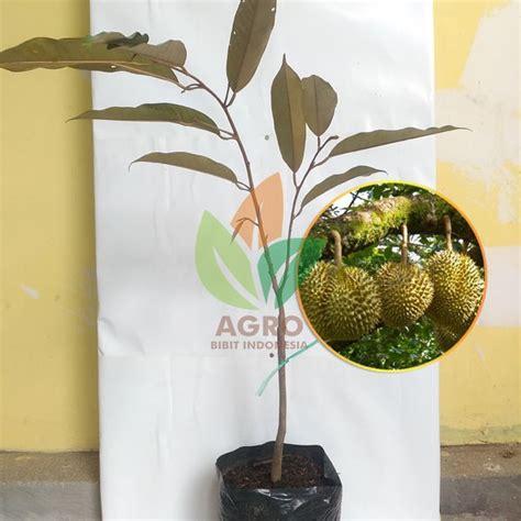 Jual Bibit Buah Okulasi jual bibit durian montong okulasi 45 cm agro bibit id