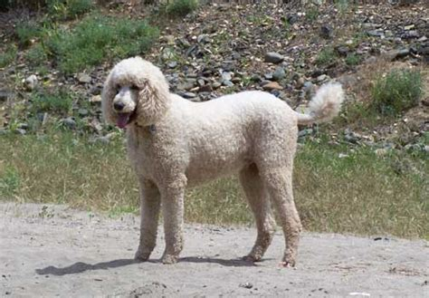 golden retriever vs standard poodle poodle apricot dogs in our photo