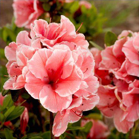 azalea color encore azalea autumn sunburst multi color blooms