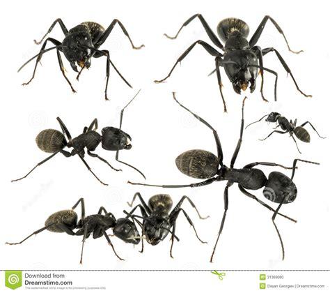 imagenes hormigas negras formigas pretas foto de stock imagem 31369060
