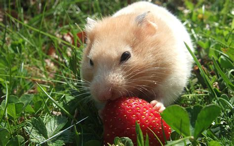 can my eat strawberries can hamsters eat strawberries pet food safety