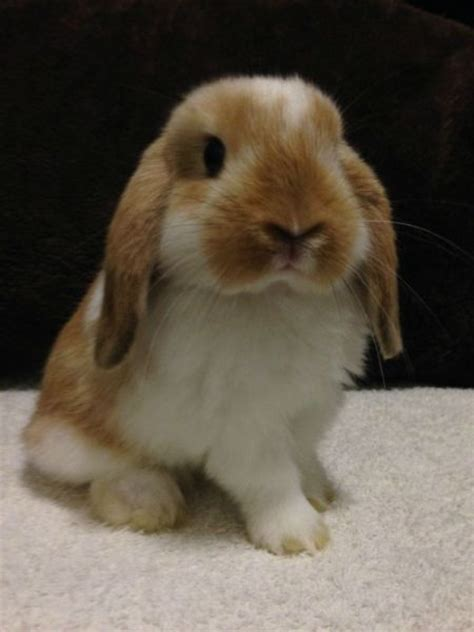 bunnies for sale near me 25 best ideas about lop bunnies on
