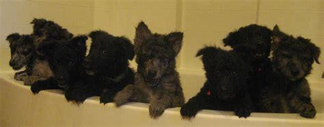 mudi puppies wash mudi puppies photo and wallpaper beautiful wash mudi puppies pictures