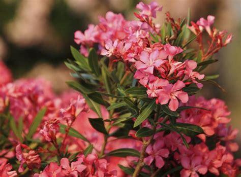 Garten Pflanzen Jahreszeit by Oleander 252 Berwintern Tipps F 252 R Die Kalte Jahreszeit