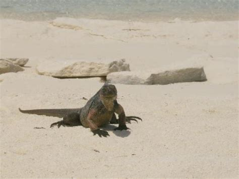 iguana island sandbar picture of robert s island adventures great