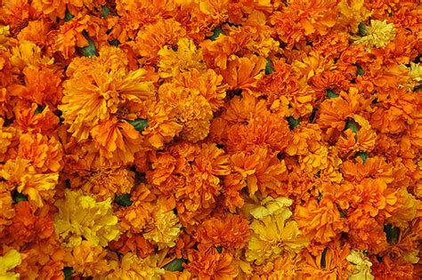 new year marigold flower marigold sikar rajasthan india pavanblog