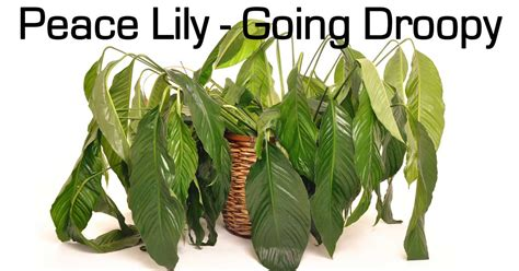 Plants That Don T Need Sunlight peace lily care questions and answers on spathiphyllum