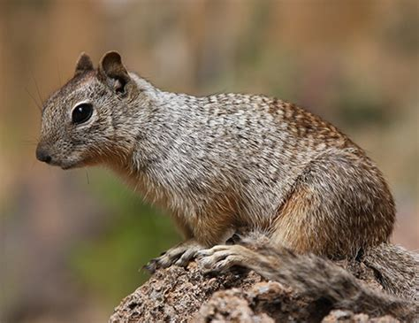 rock squirrel life expectancy