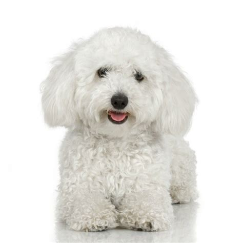 Bichon Frise Also Search For Bichon Frise Breed Information And Photos Thriftyfun