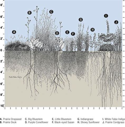 vegetable root depth depth of the roots of different prairie plants illinois