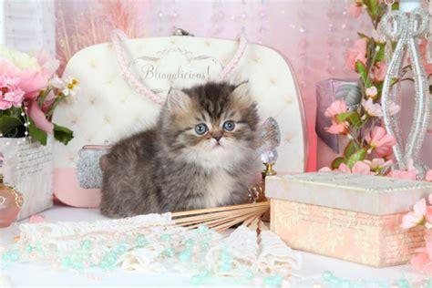 rug hugger kittens tabby kittens tabby cats tabby