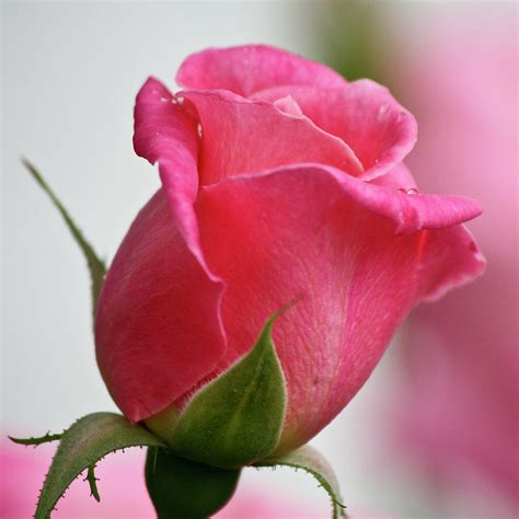 image gallery pink rosebud
