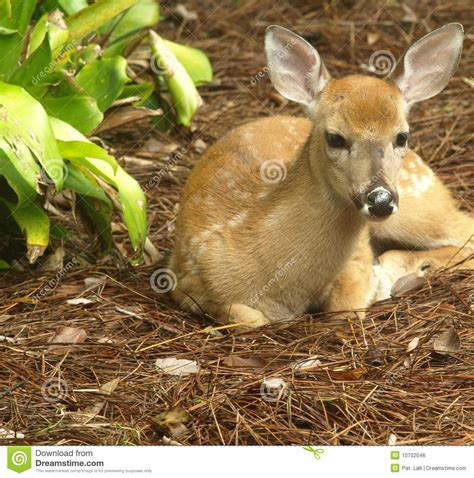 white tailed deer fawn lying down looking straight stock