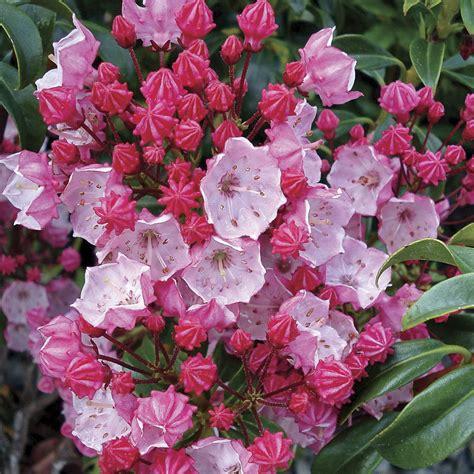 kalmia latifolia olympic fire kalmia latifolia kalmia latifolia olympic