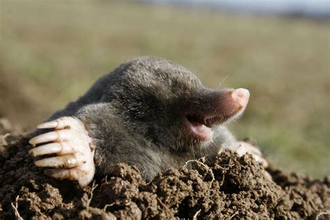mole removal services sullivan s nuisance animal control