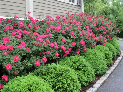 wonderful landscaping bushes for front of house home