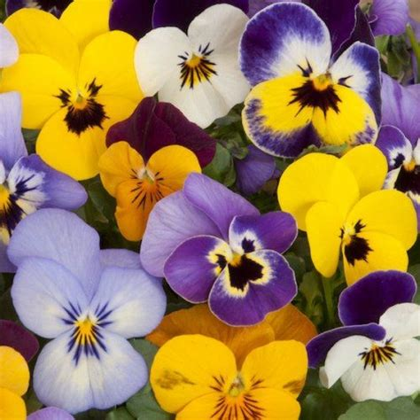 fiori di co primaverili oltre 25 fantastiche idee su fiori primaverili su