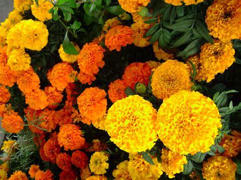 imagenes de flores de muertos flor de cempas 250 chitl dualidad entre la vida y la muerte