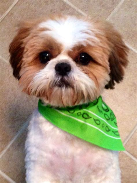 how to trim shih tzu my shih tzu baby with his summer cut pictures and quotes