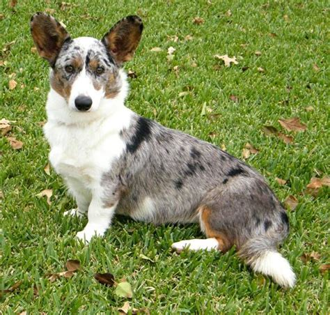 blue merle corgi puppies 47 best images about cardigan corgi on kaleidoscopes show and puppys