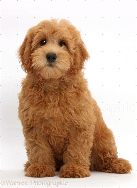 goldendoodle puppy images 17 best ideas about goldendoodle on