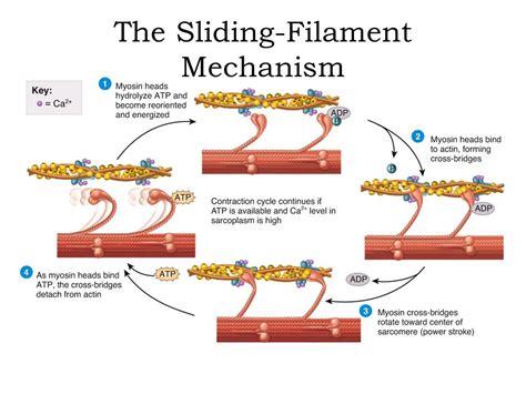 filament diagram sliding filament theory diagram sliding filament theory