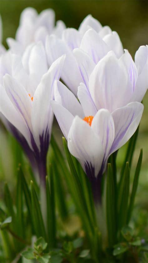 closeup crocus spring flowers  hd flowers wallpapers